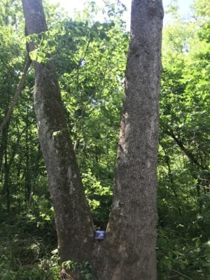 One of many enormous trees on the property with an ipad between them for scale